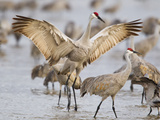 Sandhill Cranes Dancing on the Platte River Near Kearney  Nebraska  USA