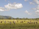 Zebra Herd  Serengeti National Park  Tanzania