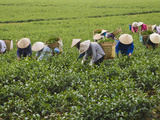 Farmers Wearing Conical Hat Picking Tea Leaves at Tea Plantation  Vietnam