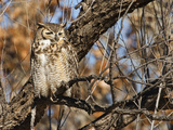 Great Horned Owl (Bubo Virginianus) Sleeping on Perch in Willow Tree  New Mexico  USA