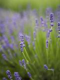 Lavender Plants  Washington  USA