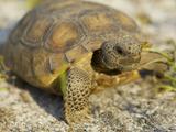Gopher Tortoise  Gopherus Polyphemus  Wiregrass Community  Central Florida  USA