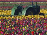 Tractor in the Tulip Field  Tulip Festival  Woodburn  Oregon  USA