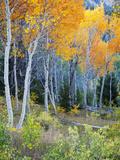 Aspens  Sawtooth National Recreation Area  Idaho  USA