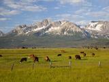 Grazing Cattle  Sawtooth National Recreation Area  Idaho  USA