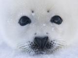 Harp Seal Pup on Ice  Iles De La Madeleine  Quebec  Canada