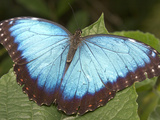 Blue Morpho Butterfly  Green Hills Butterfly Farm  Belize