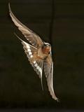Barn Swallow  Pennsylvania  USA