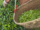 Harvesting Tieguanyin Tea Leaves at a Tea Plantation  Fujian  China