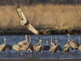 Sandhill Cranes (Grus Canadensis) Flying at Dusk  Platte River  Nebraska  USA