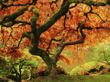 Japanese Maple in Full Fall Color  Portland Japanese Garden  Portland  Oregon  USA