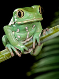 Painted Monkey Frog Phyllomedunited States of America Savaugii Native to Paraguay