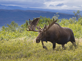 Bull Moose, Denali National Park, Alaska, USA Papier Photo par Hugh Rose