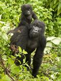 Mountain Gorilla  Volcanoes National Park  Rwanda