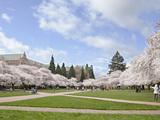 Cherry Trees on University of Washington Campus  Seattle  Washington  USA