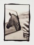 Zebra in the Mirror 1
