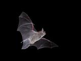 Cave Myotis (Myotis Velifer) in Flight in Captivity  Hidalgo County  New Mexico  USA  North America
