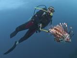Diver Spearfishing Lionfish (Pterois Volitans)  Roatan  Bay Islands  Honduras  Caribbean