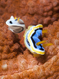 Chromodoris Dianae and Chromodoris Strigata Nudibranches  Sulawesi  Indonesia  Southeast Asia  Asia