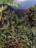 Blue Mountain Coffee Beans  Lime Tree Coffee Plantation  Blue Mountains  Jamaica  West Indies