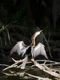 Anhinga (Anhinga Anhinga)  Everglades  UNESCO World Heritage Site  Florida  USA  North America