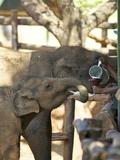 Baby Asian Elephants Being Fed  Uda Walawe Elephant Transit Home  Sri Lanka  Asia