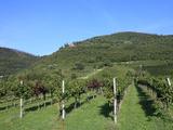 Vineyard  Vincenza  Veneto  Italy  Europe