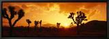 Sunset, Joshua Tree Park, California, USA Tableau sur toile encadré par Panoramic Images