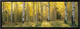 Aspen Trees in Coconino National Forest, Arizona, USA Tableau sur toile encadré par Panoramic Images