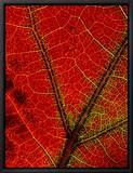 Gros plan des veines d'une feuille d'érable aux couleurs automnales Tableau sur toile encadré par George F. Mobley