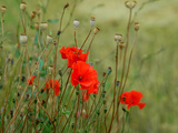 Poppies on Flanders Fields