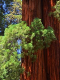 Sequoia Art