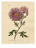 Chrysanthemum indicum