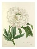 Pivoine: Paeonia officinalis