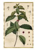 Jasminum Arabicum