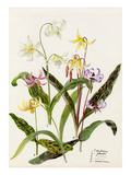 Erythronium hendersoni  Erythronium johnstoni  Erythronium revolutinum  Erythronium hartwegi  Eryth