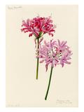 Nerine manselli  flexuosa alba × Lady St Oswald