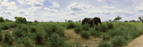 African Elephants (Loxodonta Africana) in a Field  Kruger National Park  South Africa