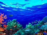 Underwater View of Pallid Triggerfish (Sufflamen Bursa)  Oriental Sweetlips (Plectorhinchus Vitt