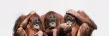 Close-Up of Three Orangutans