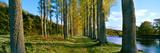 Poplar Treelined at the Riverside  River Tweed  Maxton  Newtown St Boswells  Scotland