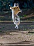 Verreaux's Sifaka (Propithecus Verreauxi) Lemur Dancing  Madagascar
