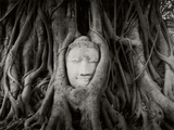 Buddha Head in the Roots of a Tree  Wat Mahathat  Ayutthaya Historical Park  Ayutthaya  Thailand
