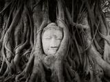 Buddha Head in the Roots of a Tree  Wat Mahathat  Ayutthaya Historical Park  Ayutthaya  Thailand