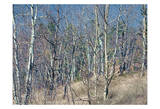 Pikes Peak Trees I