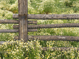 Wild Chamomile Growing around Log Fence