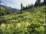 Cow Parsnip and Orange Sneezeweed Growing on Mountain Slope  Mount Sneffels Wilderness  Colorado