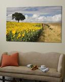Field of Sunflowers with Holm Oaks Toile Murale Géante par Felipe Rodriguez