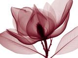 Red Magnolia