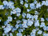 A Cluster of Forget Me Not Flowers  Myosotis Species  in Springtime